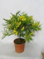 Prodotti for Mimosa in vaso
